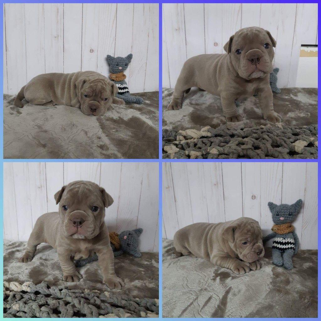 Olde English Bulldogs For Sale In Alberta Bulldog Puppies Olde