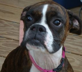 Adopt Chloe On Boxer Dogs Boxer Love Boston Terrier Love