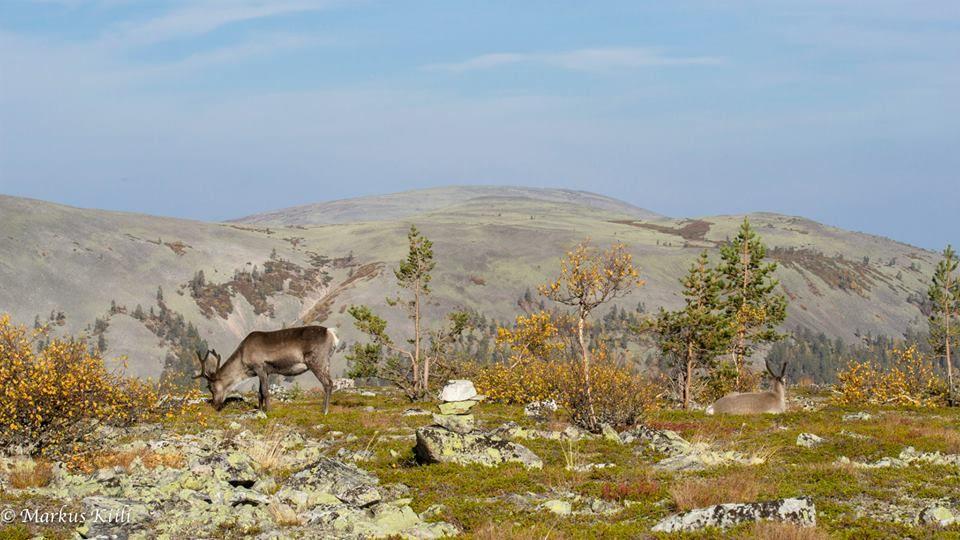 """These guys are""""heat"""" this time at year! ☺  ☺ Nämon kiimassa tähän aikaan vuoesta!  Poroja - Reindeers https://www.facebook.com/Jouninkauppa"""