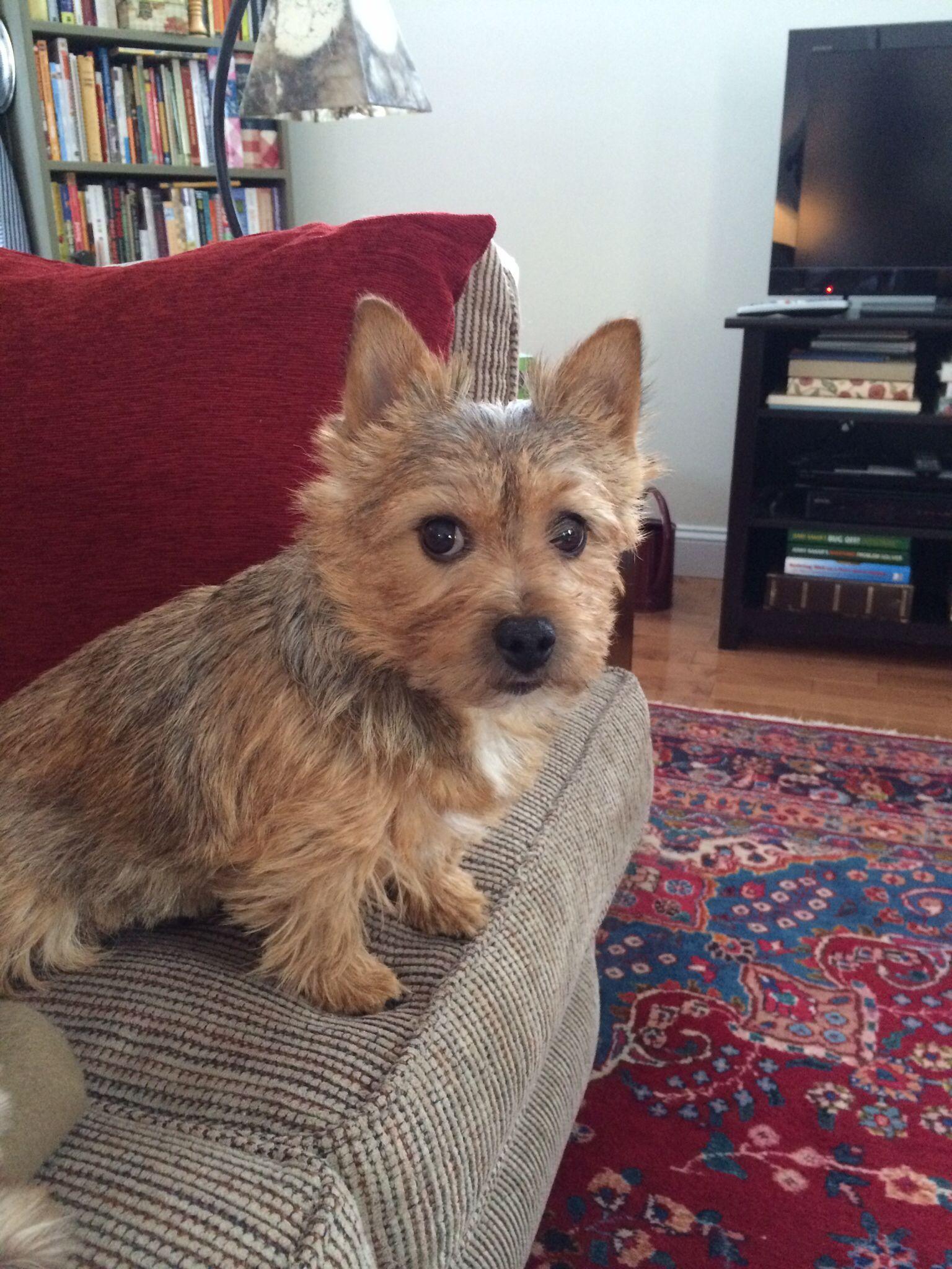 Peanut | Norwich terrier, Terrier puppies, Fluffy animals
