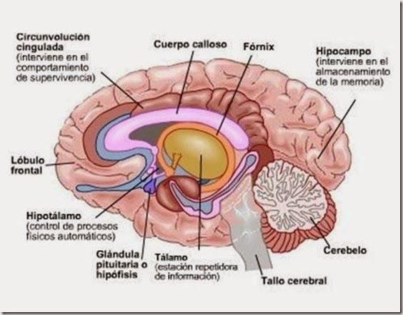 Resultado de imagen de partes del encéfalo humano