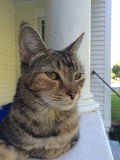 Found Cat Domestic Short Hair In Willington Ct Tabby Share Facebook Twitter Google Email Pet Name Unknown Id 19903 Ge Found Cat Cats Small Pets