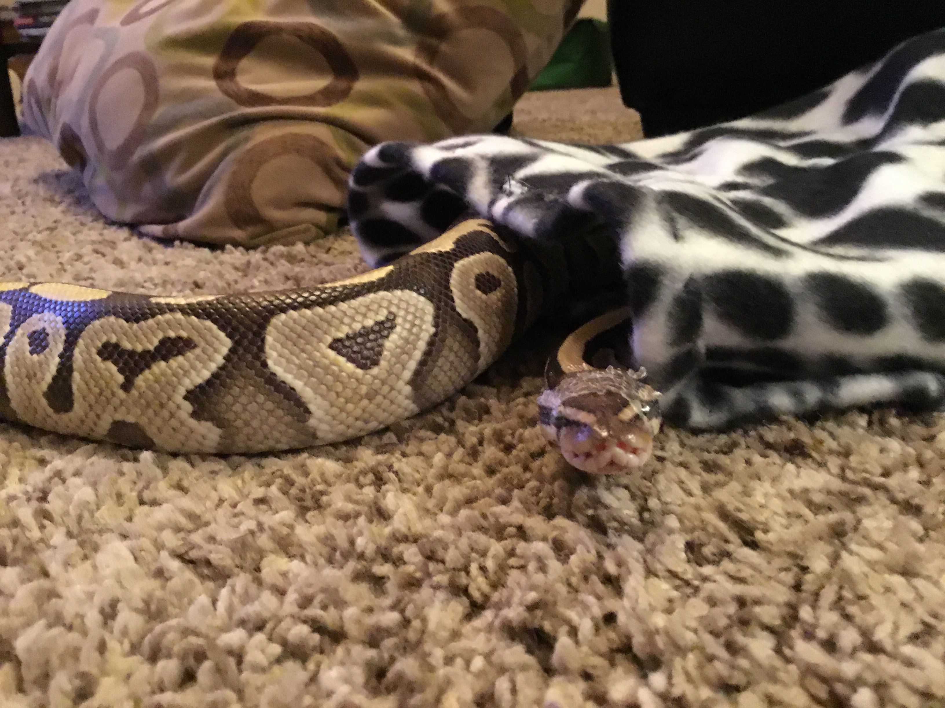 1502 Best S N A K E S Images Ball Python Morphs Ball Python Beautiful Snakes