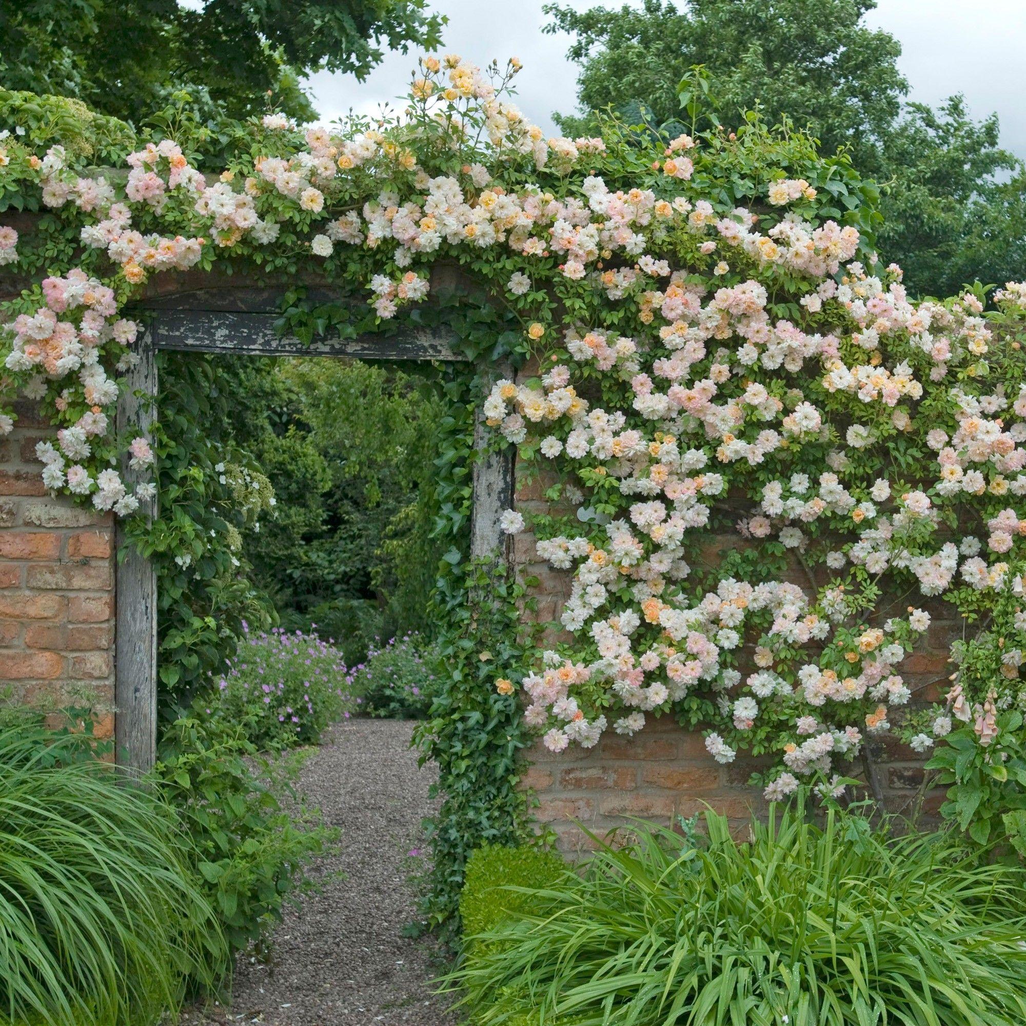 Phyllis Bide rambler, scented, repeat bloomer, 15 feet
