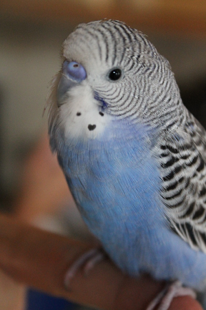 Oliver, his cheek spot was a little heart c Budgies