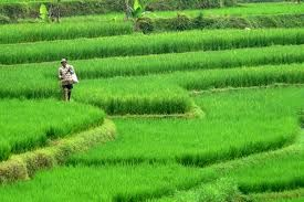 Find the beautiful rice terrace in Java island with us!