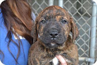 Paris, KY Boxer/Mastiff Mix. Meet Crosby, a puppy for