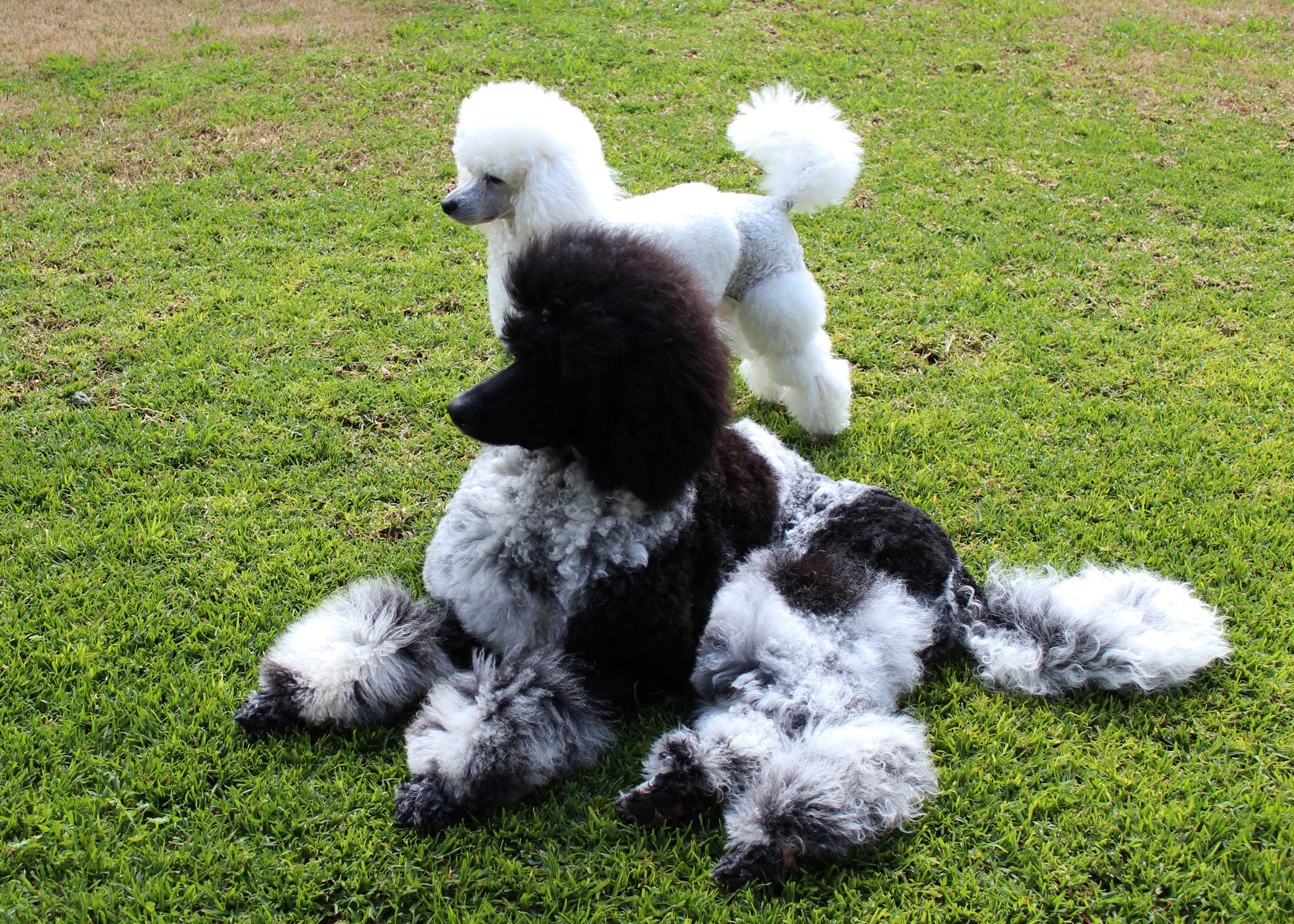 Standard Parti Poodle Miniature White Poodle Dolce Gucci My