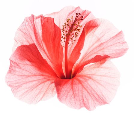 Photo : Red hibiscus