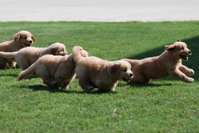 Puppies Tennessee Golden Retrievers Prism Golden Retrievers