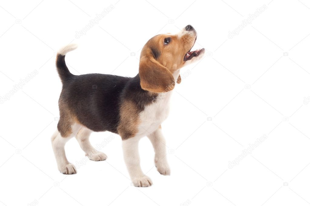 Beagle Puppy Barking Stock Photo Affiliate Puppy Beagle