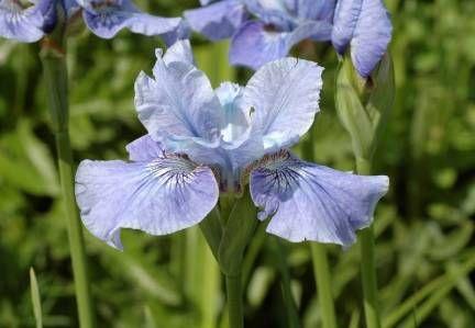 Iris sibirica 'Blaues Schweben'