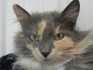 Adopt Daisy On Petfinder Calico Cat Cats Animal Shelter