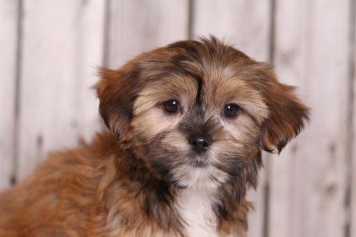 Shorkie Tzu Puppy For Sale In Mount Vernon Oh Adn 33157 On Puppyfinder Com Gender Female Age 10 Weeks Old Puppies For Sale Shorkie Tzu Puppies