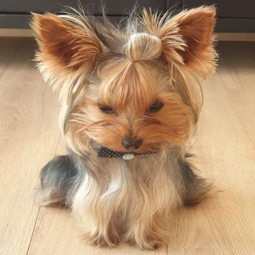 On Instagram L Amour Est Un Mot A Quatre Pattes Love Is A Four Legged Word In 2020 Yorkie Yorkshire Terrier Puppies Yorkie Puppy