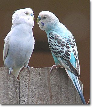Parakeets  This is how it WAS between Marshamallow and Animal.  by Isabel