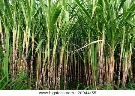 16998 Results For Sugar Cane Sugar Cane Sugar Cane Plant Sugarcane