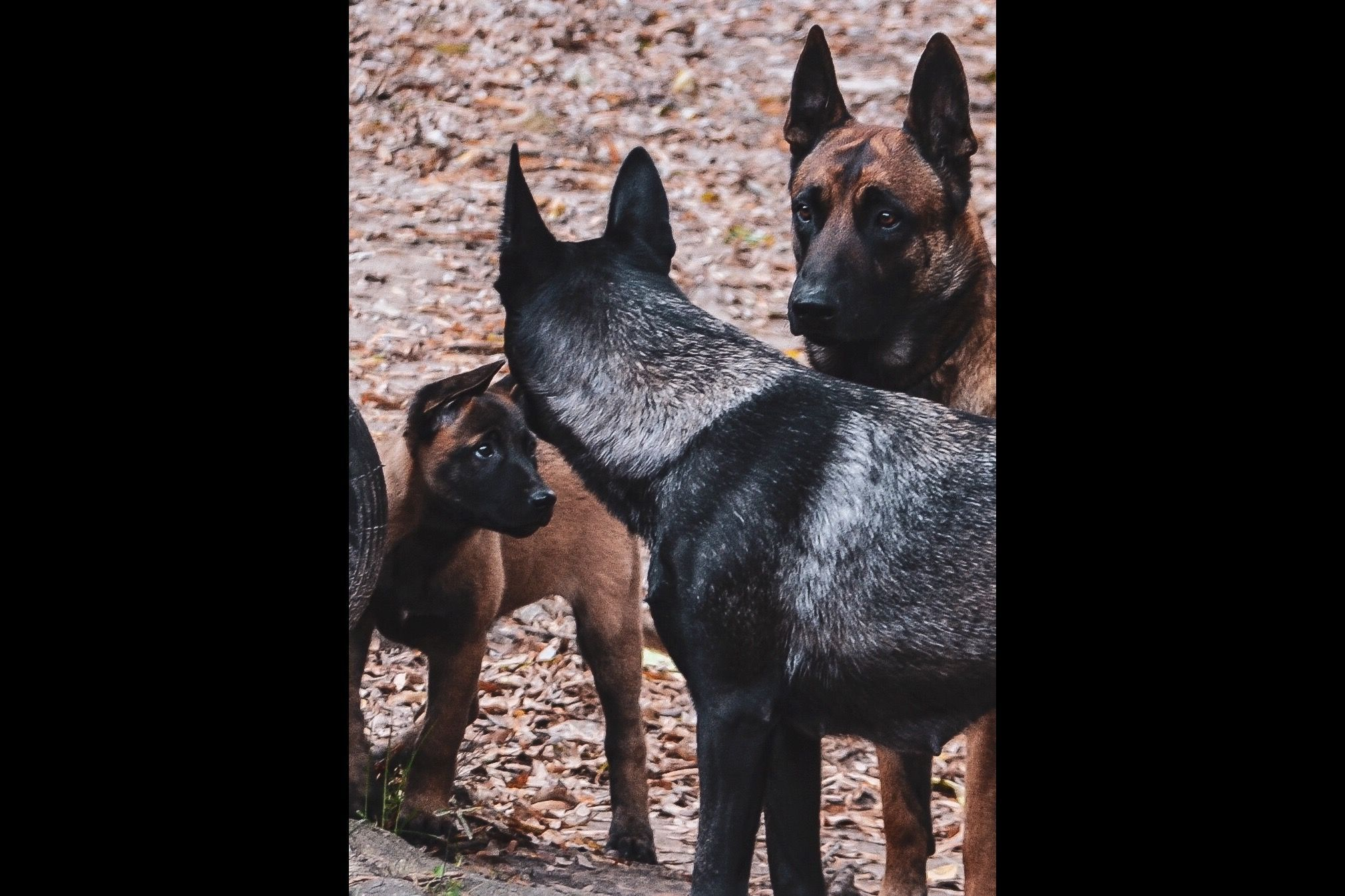 Stanford Malinois Has Belgian Malinois Puppies For Sale In Grand Junction Tn On Akc Puppyfinder Malinois Puppies For Sale Malinois Puppies Malinois