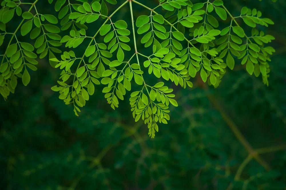 Advantages Of Moringa Extract Moringa Tree Leaf Background Moringa Leaves