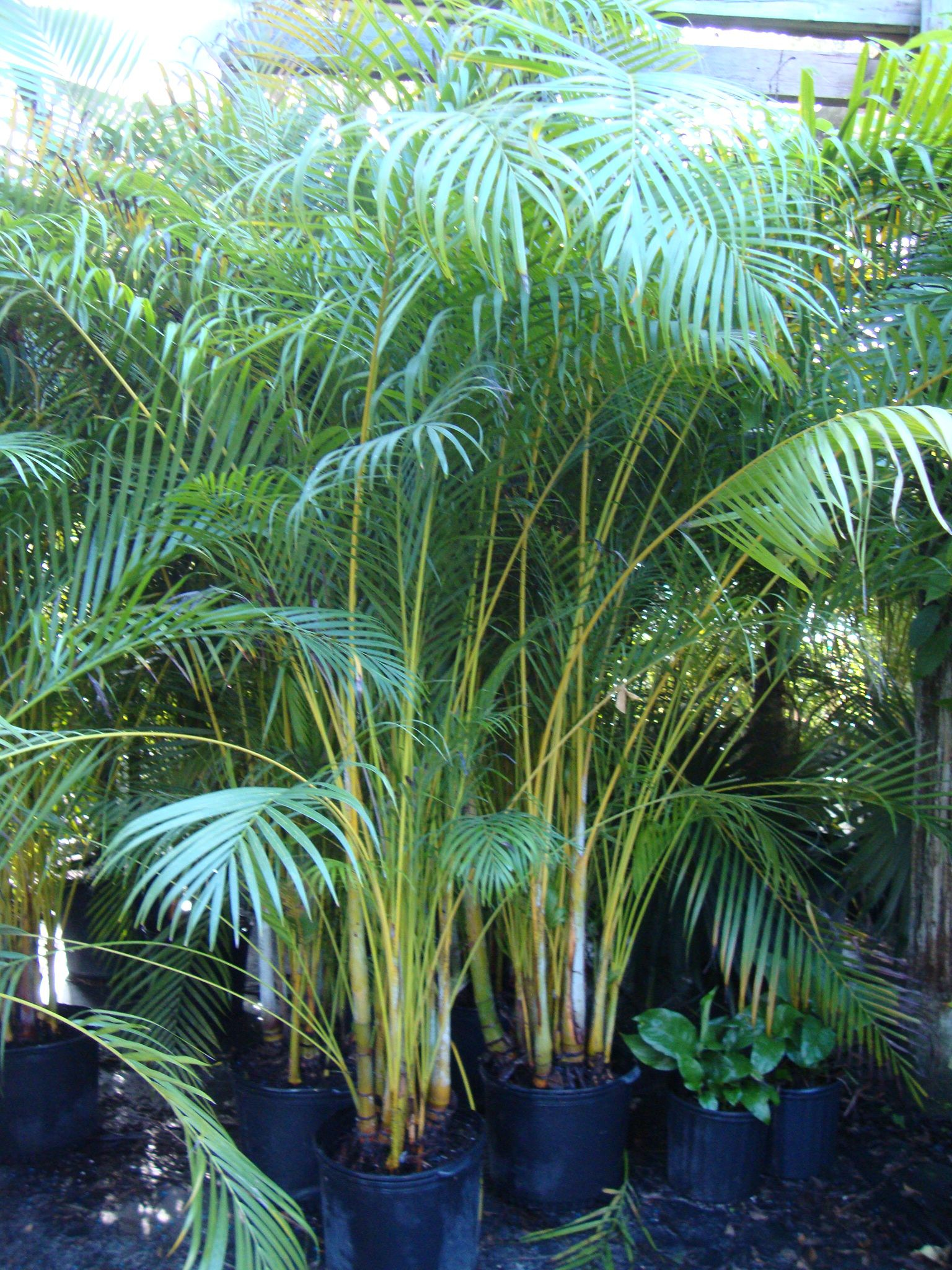 Areca Palm Good For Privacy Around Pool Areas Call For An