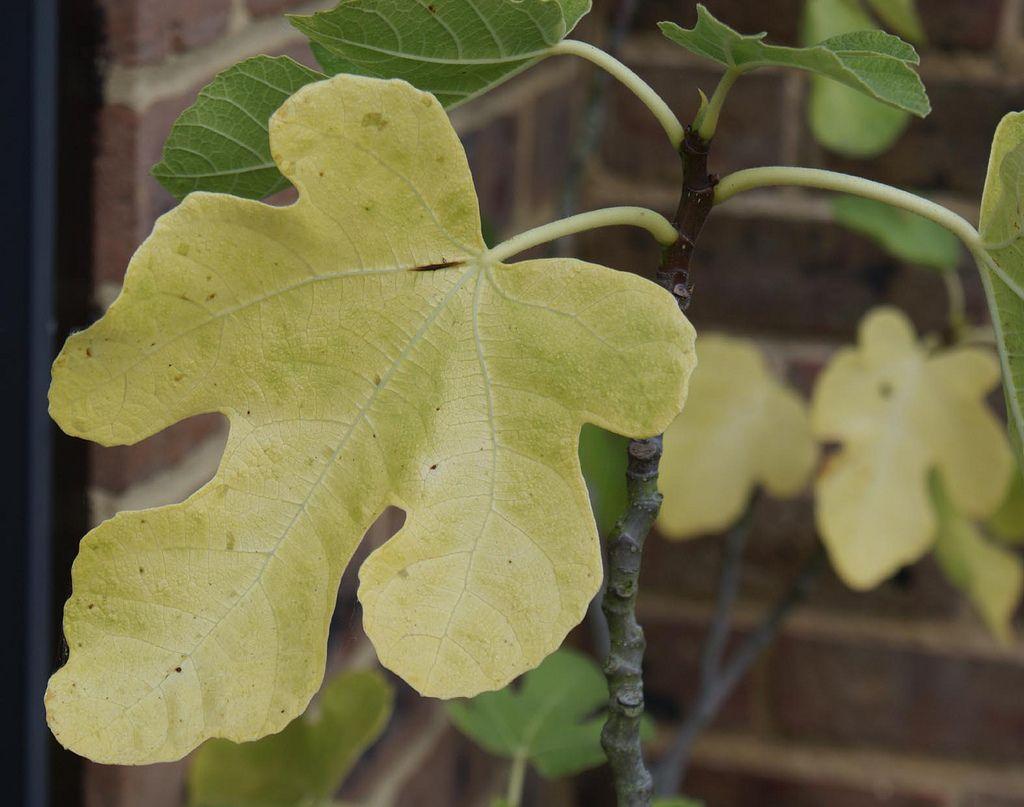 Fig Tree Leaf Drop Why Do Fig Trees Lose Leaves Fig Tree Fig Leaves
