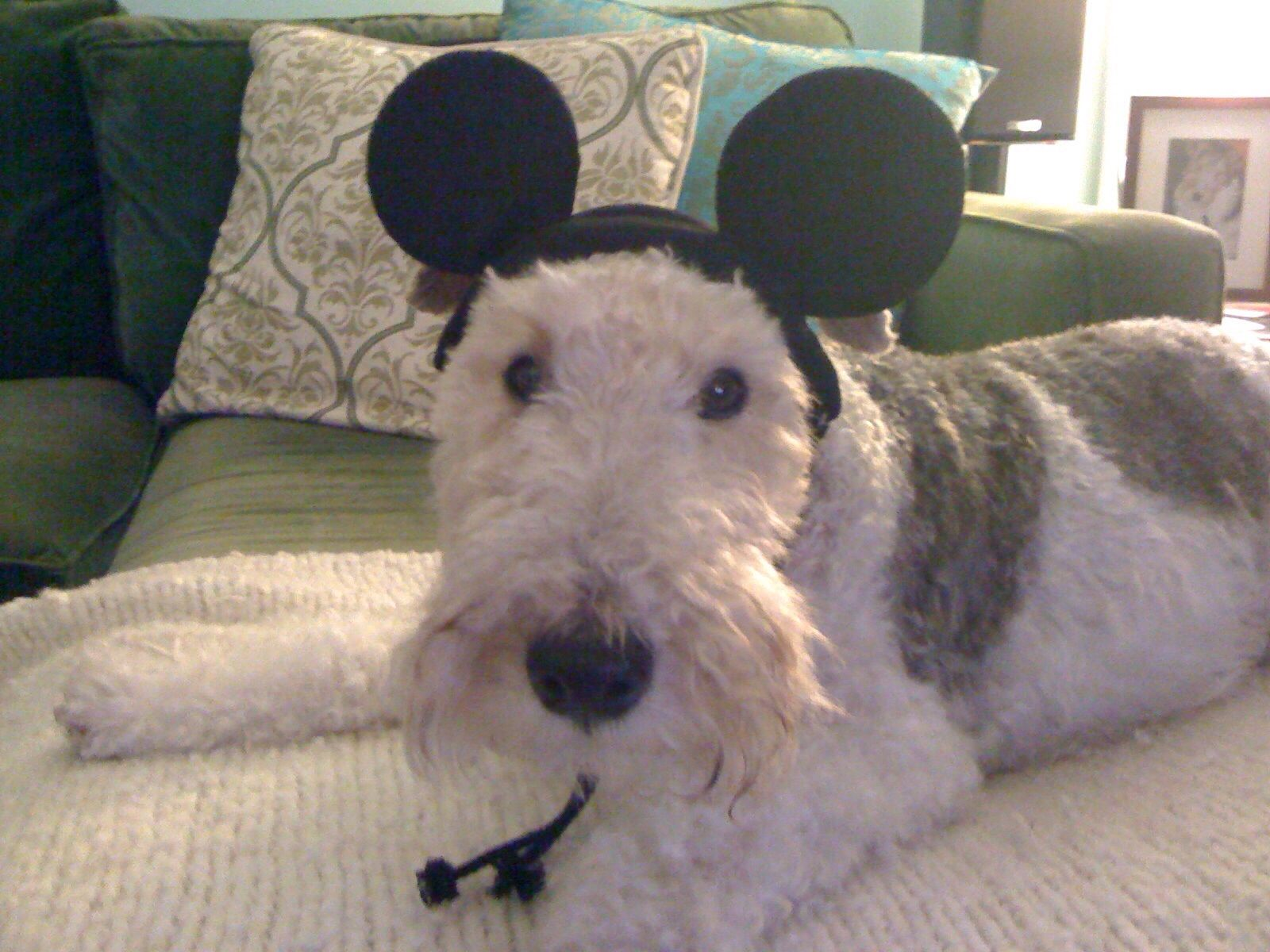 You can\'t Disneyfy a fox terrier .Shocking. | Foxies | Pinterest ...
