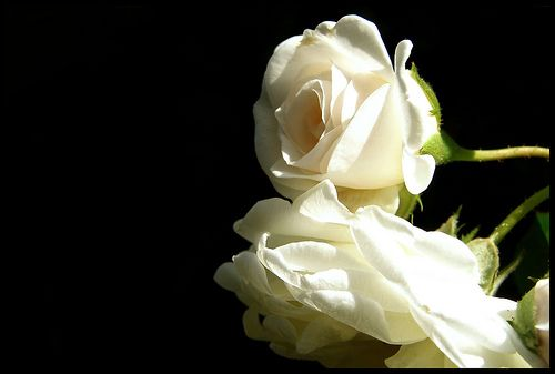 Rosas Blancas Wallpapers 88995 Loadtve