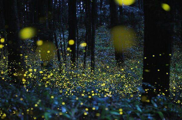 نوع من أنواع الحشرات تسمى بالحشرة المضيئة توجد في Great Smoky Mountains National Park في أمريكا، تضيء بالتزامن مع بعضها لتبدو هكذا في المساء.