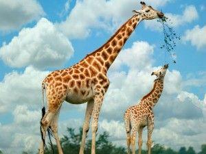 ¿Cuánto viven las jirafas?