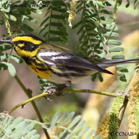 Townsend's Warbler.  Birds of North America