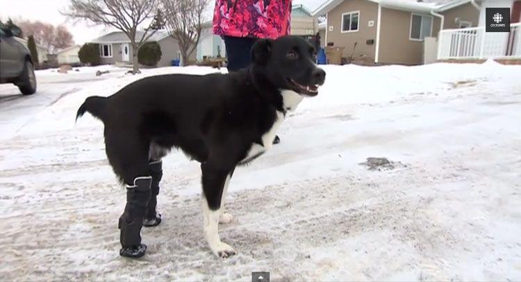 Dog Found Frozen To Ground Gets New Legs Video Dogs Animal