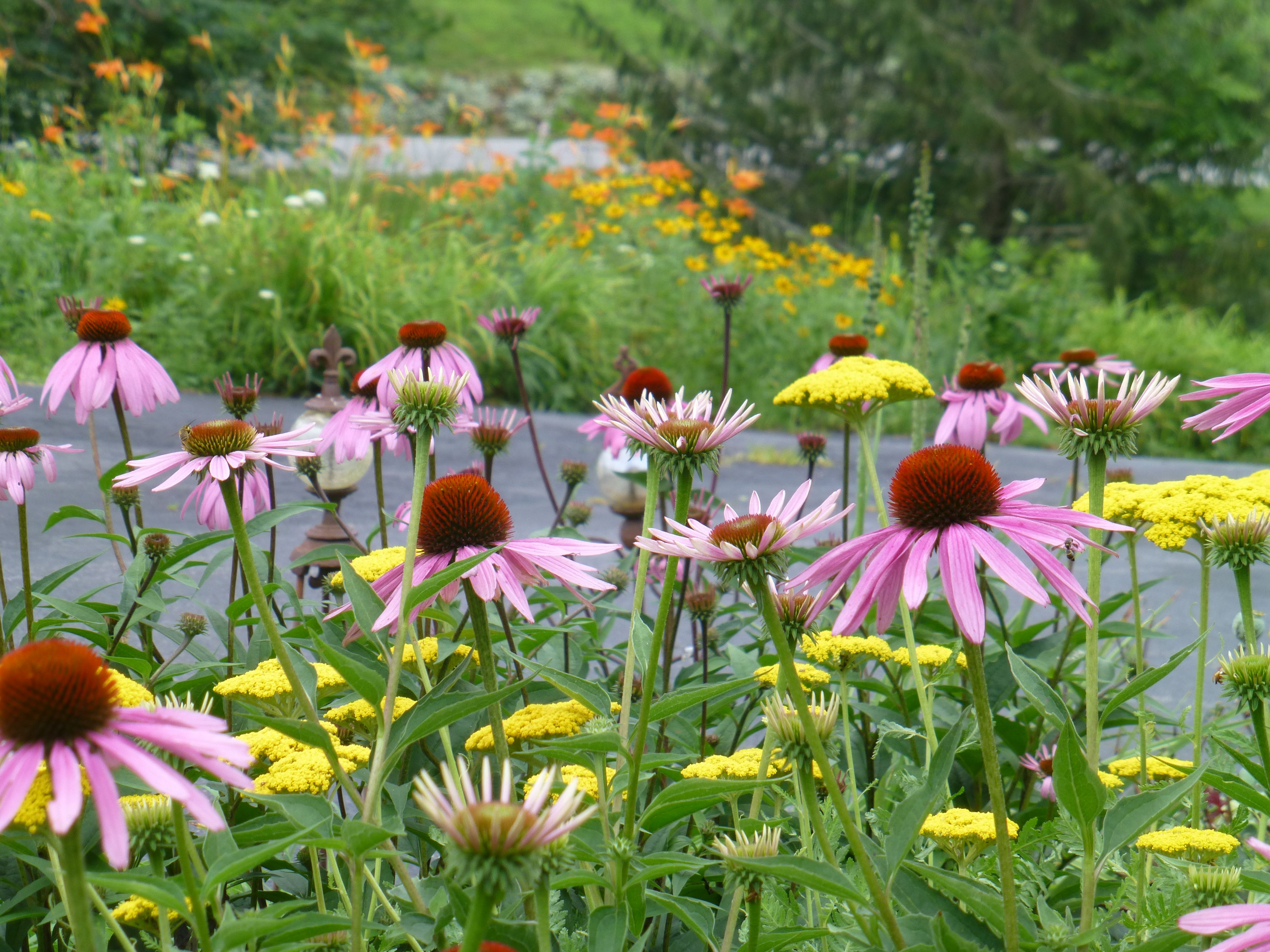 In The Foreground Is Purple Coneflower With Yellow Fernleaf Yarrow Country Gardening Flower Beds Plants