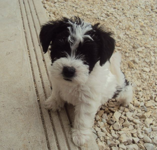 Kijiji Adorable Hypoallergenic Puppies For Sale Winnipeg