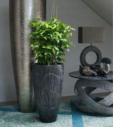Dracaena surculosa interieurbeplanting kantoorplanten for Interieur beplanting