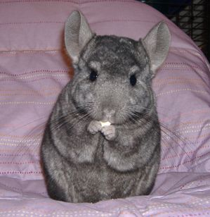 Pin By Penny Angelone On Pets Animals Chinchilla Funny Baby Animals Cute Animals