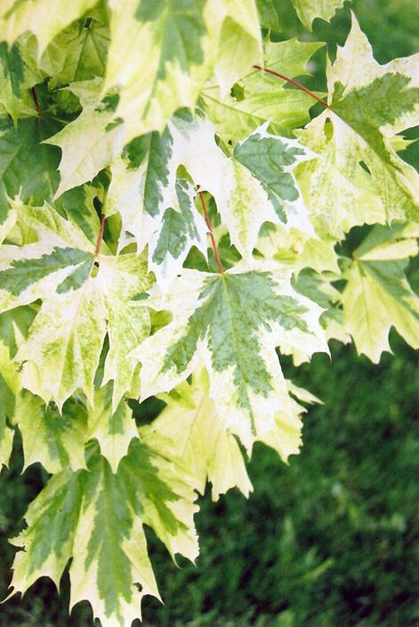 Crimson Sentry Norway Maple Is A Bud Sport Of The Common Crimson - Norway maple uses