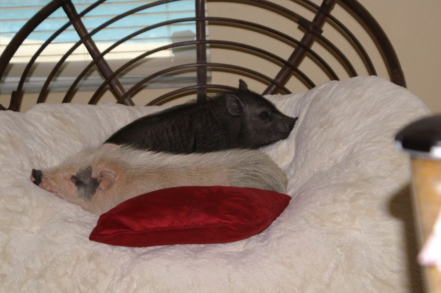 looks like the piggies are having cushion trouble!!!