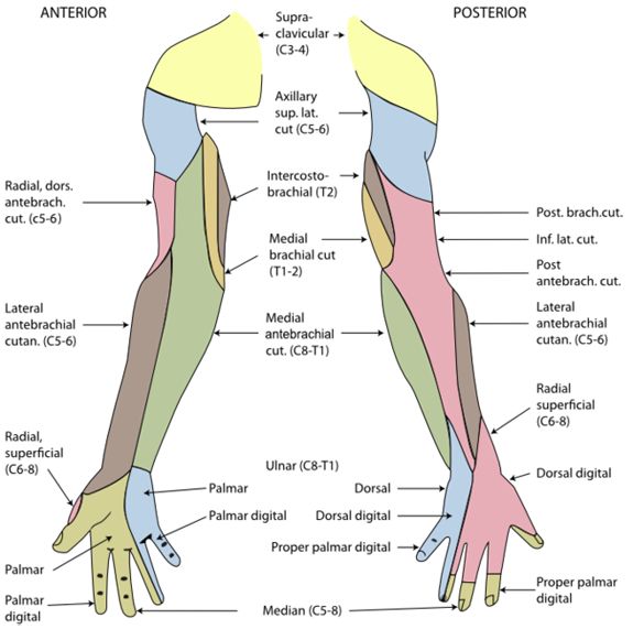 Dermatomes of the right shoulder, arm and hand. | Neuroanatomy ...