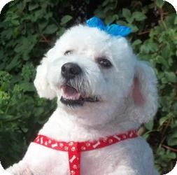 Mississauga On Bichon Frise Meet Connor A Dog For Adoption Dog Adoption Bichon Frise Bichon