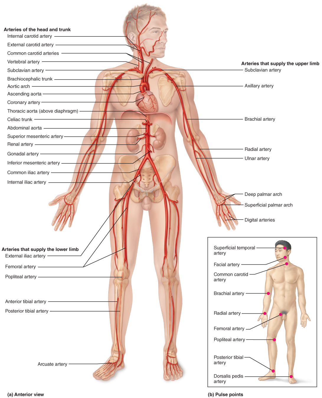 The Systemic Circulation | Anatomy | Pinterest