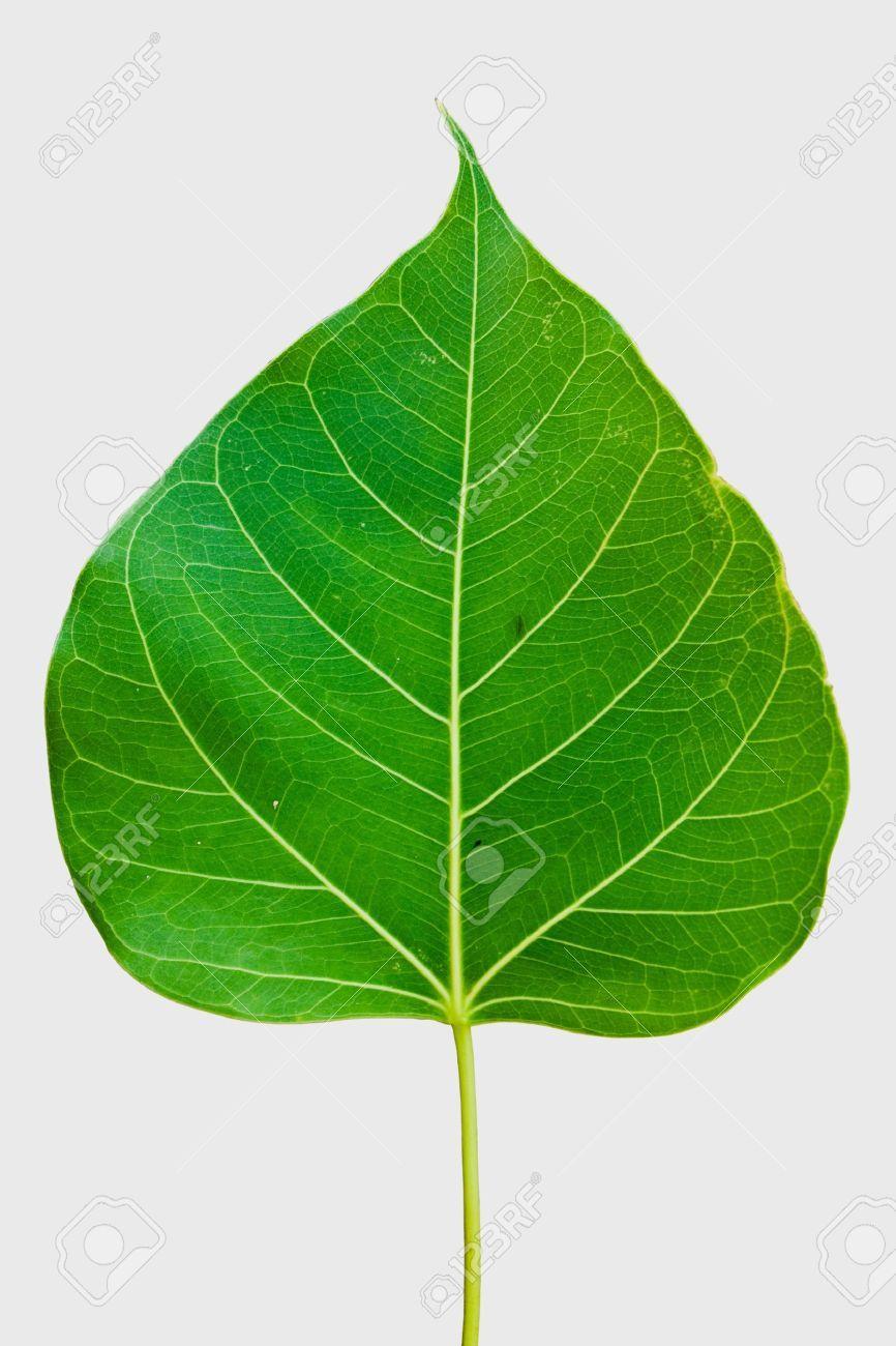 Image result for banyan tree leaf - 120.2KB