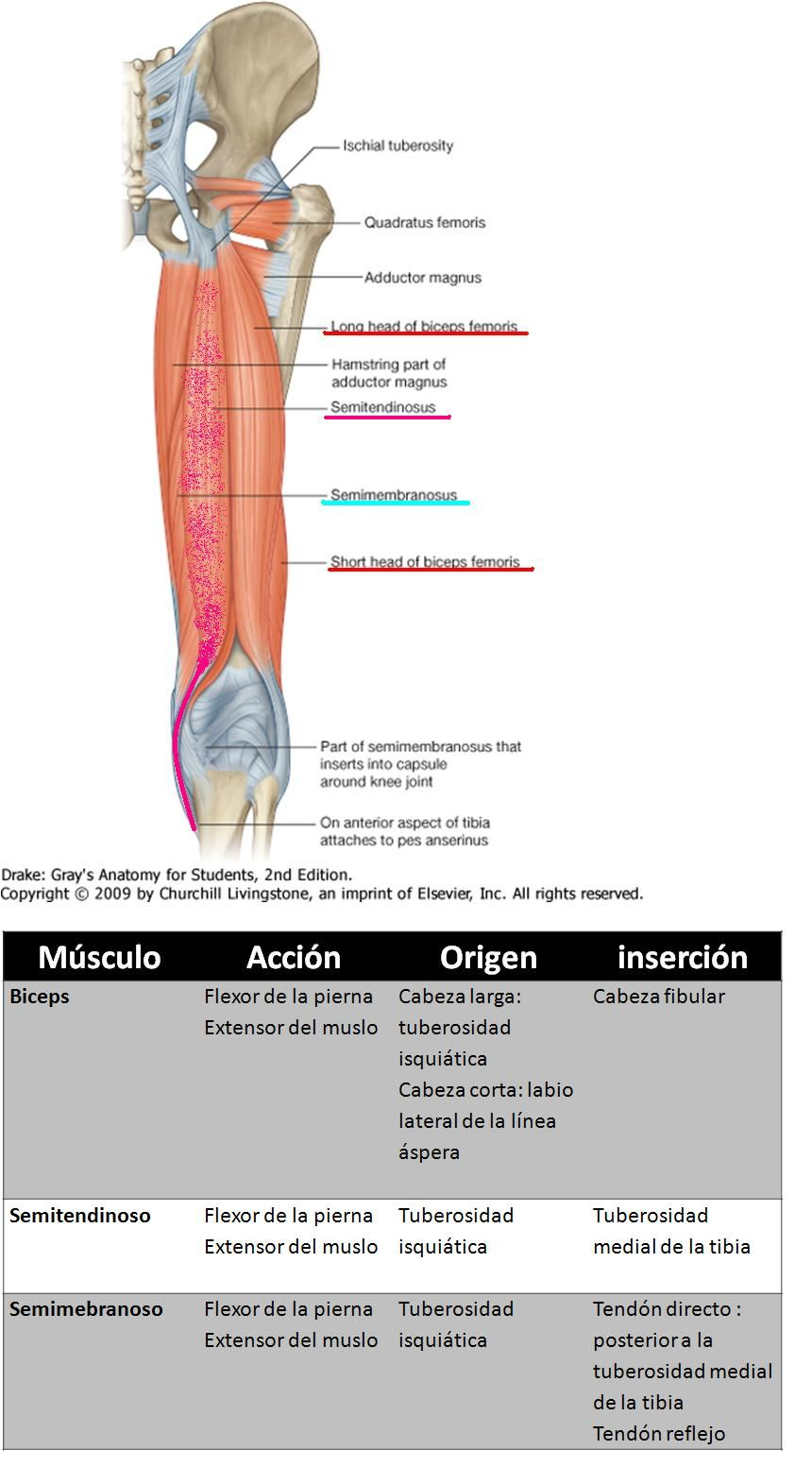 Asombroso Músculo Del Muslo Anatomía Mri Composición - Anatomía de ...