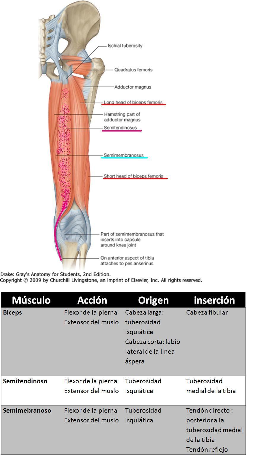 Anatomía UNAM: MUSLO POSTERIOR | Human Anatomy | Pinterest | Anatomía