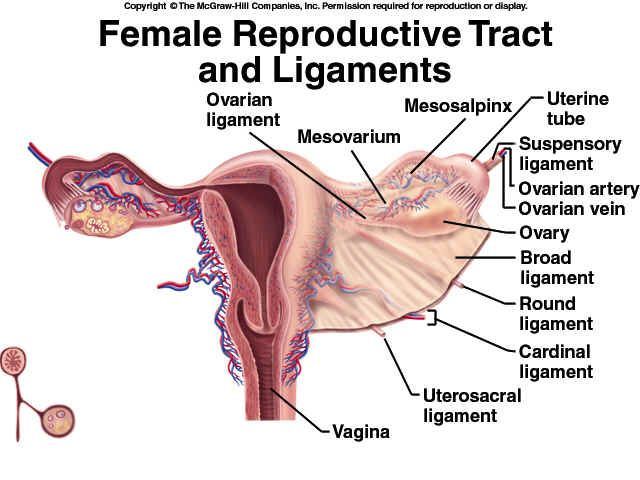 ovarian ligament | Female Reproductive System | Reproductive System ...