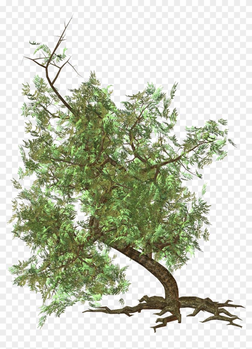 Crooked Bonsai Tree Photoshop Png Bonsai Tree