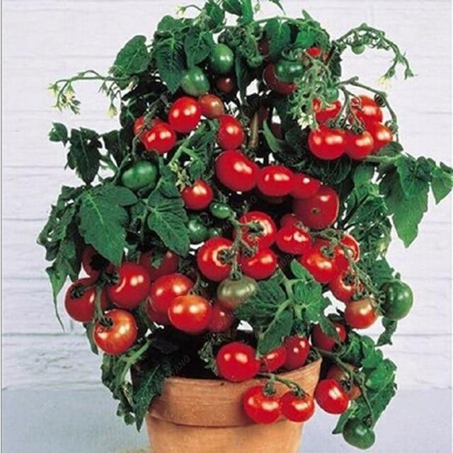 Tomato Climbing Bonsai Vegetable Plants 100 Seeds 400 x 300