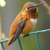 The rufous hummingbird_ is tiny, less than 4 inches long, with the females being slightly larger than the males. The males have an iridescent copper-colored throat patch, a rusty-brown head, body, and tail, a white chest and belly, and dark wings. Tiny brownish bird with long beak Adult male