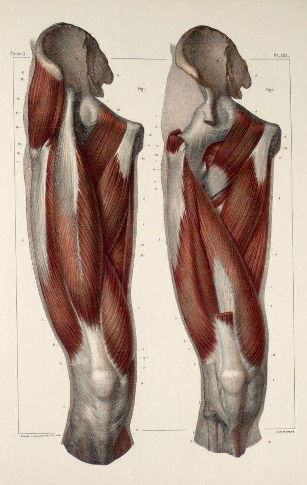 Muscles+of+the+thigh.jpg 600×946 pixels | AnatomyMan | Pinterest ...