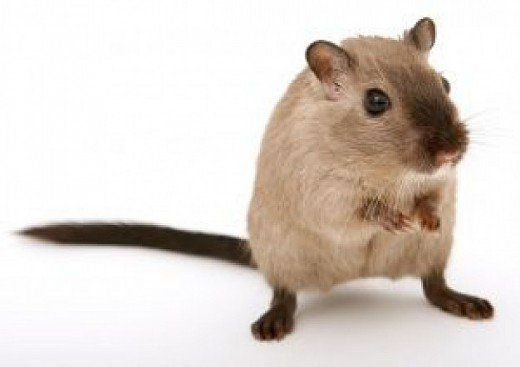 Which Small Animal Is The Best Pet For You Gerbil Small Pets Pet Mice