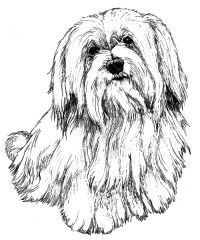 shih tzu coloring pages google search - Shih Tzu Coloring Pages
